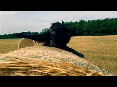 Koira tipahtaa heinäpaalin päältä – Hassu hidastus