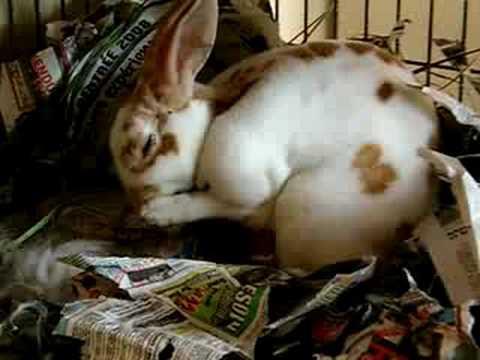 Rabbit giving birth-baby bunnies