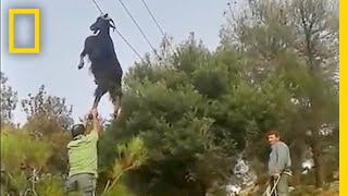 Bizarre Rescue: How Do Goats Get Stuck in Odd Places? | National Geographic