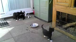 Dizzy and her four kittens which were born 1st July, this is their first time outside on the patio.
