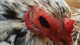 Nunca lave um ovo de galinha