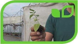Der kleine Unterschied: Wie Lubera Physalis-Pflanzen produziert