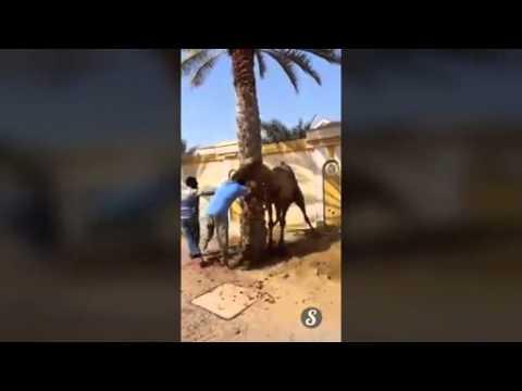 Un camello agarra por la cabeza y lanza por los aires a un hombre que lo iba a sacrificar
