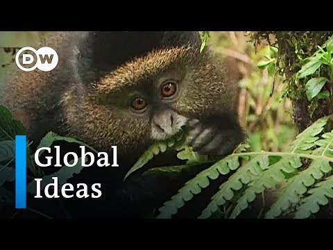 Ruandas Goldmeerkatzen sind in Gefahr | Global Ideas