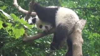 Día 264: Osos panda de Cheng du