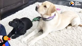LIVE: Service Dog Puppy Gets Training From Smudge the Guide Dog | The Dodo LIVE by The Dodo