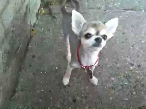 Mobile iPhone 3GS video sample Bluey the Chihuahua