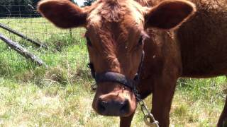 Teaching Our Calf To Lead - Part 4 of 6