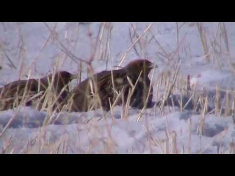 -20 derece soğukta üşüyen Keklikler Sivas Kangal