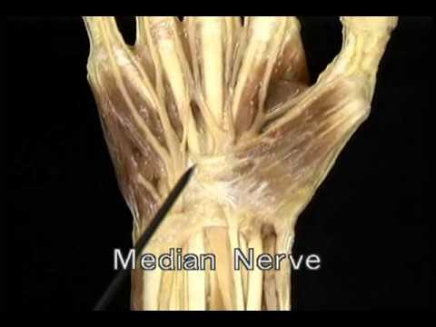 срединный нерв 1