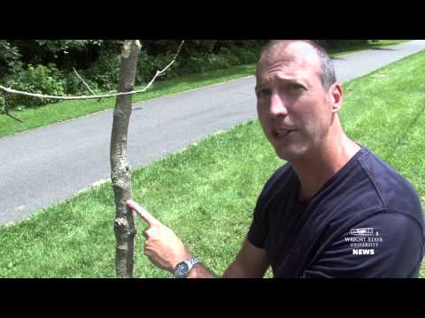 Video thumbnail: Attack on white fringetree by emerald ash borer likely to be widespread, says Wright State researcher