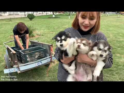 Mật Ra Cánh Đồng Trộm 11 Chó Con - Chạy Toé Khói- Mật Pet Family - Thời lượng: 13:15.