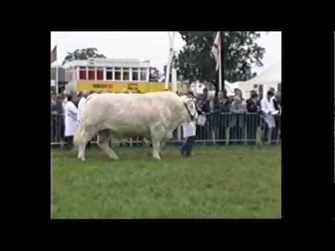 1780kg Charolais Bull