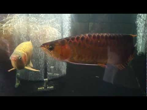 LLL Arowana MrMrs Smith.mp4