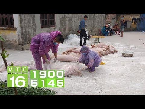 Dịch tả lợn Châu Phi lan ra 17 tỉnh, thành phố | VTC16 - Thời lượng: 82 giây.