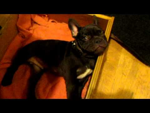 French Bulldog Argues Against Bedtime