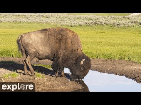 Live-Cam: Bisons - Bison Water Hole - Grasslands-Nationalpark - Kanada