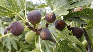 How to Grow Figs - Complete Growing Guide