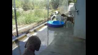 Sheepdog Leads his Four-Legged Friends on a Game of Leap Frog Through the Pools at Doggie Daycare