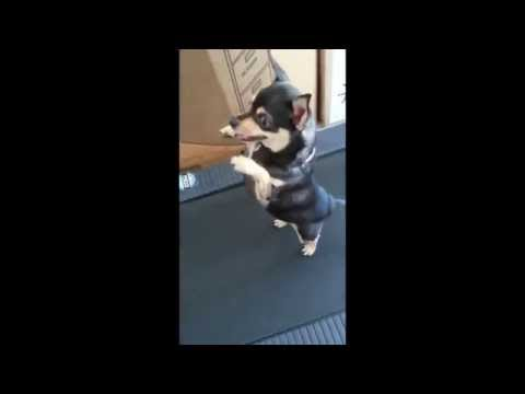 FAT Chihuahua on Treadmill Doing the Unthinkable!