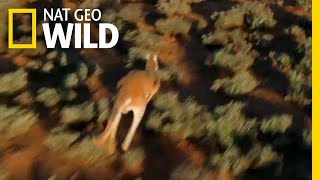 For Kangaroos, the Mating Game is Dangerous | Nat Geo Wild by Nat Geo WILD