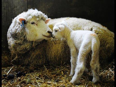 六甲山で羊のベビーラッシュ