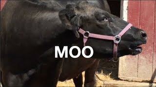 Video COW SOUNDS FOR KIDS: COWS GO MOO MP3, 3GP, MP4, WEBM, AVI, FLV Oktober 2018