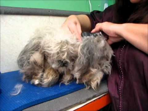 Clipping matted dog