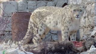 The snow leopard is endangered. There may be fewer than 4,000 of these magnificent, elusive cats left in the wild. This August, all 12 countries where the snow leopard is found will come together in Bishkek, Kyrgyz Republic, to discuss strategies on how to save the cat. Find out more at forum.globalsnowleopard.org
