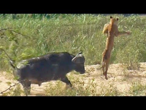 Во бычье, не дал поесть ящера