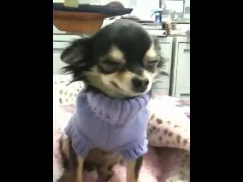Un chien Chihuahua très souriant