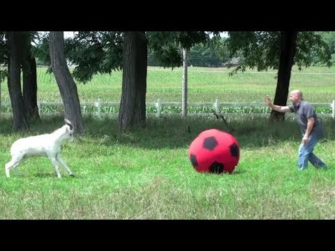 Video Compilation: Animals Playing with Balls