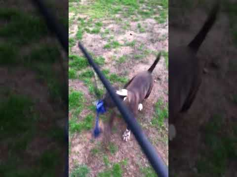 Split AKC Bull Terrier playing with tether toy
