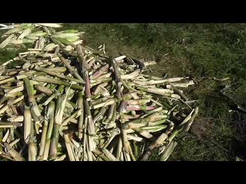 Почему после сбора урожая стебли и корни кукурузы убираю с участка - DomaVideo.Ru