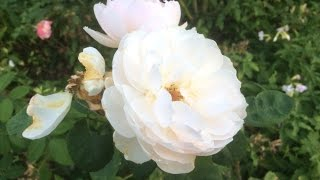 Rose en plusieurs langues: Afrikaans: Roos العربية: ورد ܐܪܡܝܐ: ܘܪܕܐ Avañe'ẽ: Yvotyje azərbaycanca: İtburnu Bahasa Indonesia: Mawar Bahasa Melayu: Bunga ...