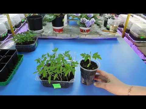 Как ровно посадить рассаду 11