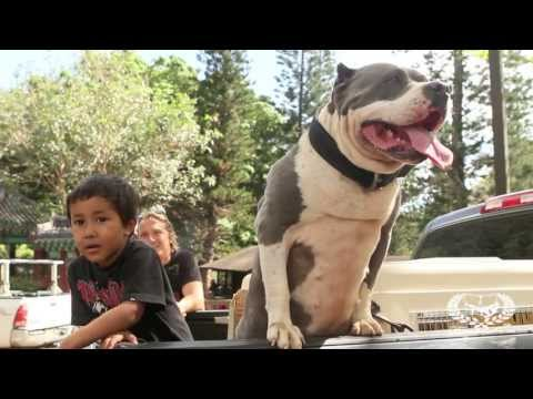 What is an American Bully? | FreakShowBullys.com