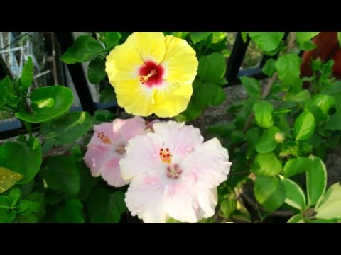 How to get more flowers from your Hibiscus plant....