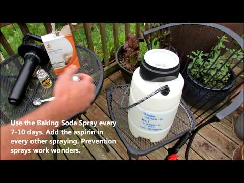 Baking Soda & Aspirin Tomato Prevention Spraying: Stop Leaf Spot & Early Blight From Showing!