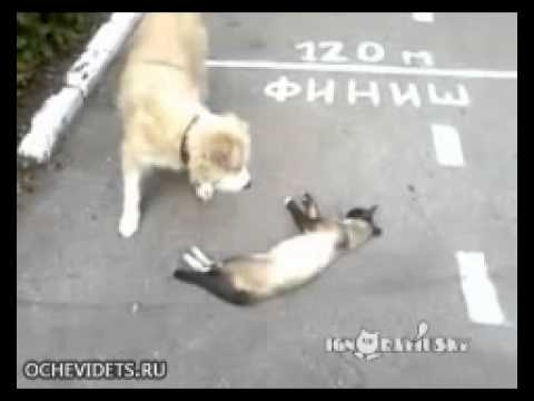 funny video - gatto finge di esser morto per sfuggire al cane