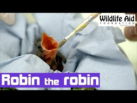 Hand Rearing an Orphan Robin - The Baby Bird Project!