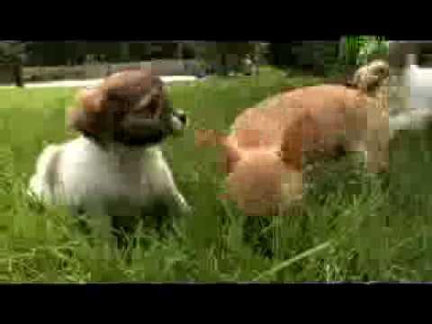 Dogs 101 Chihuahua (видео)