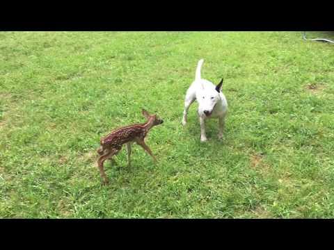 Bullterrieri ja vasa – Parhaat ystävykset