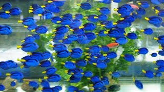 Video From the Ocean to Your Aquarium, Hand Collecting Pacific Blue Tang - Hippo tang - Dory MP3, 3GP, MP4, WEBM, AVI, FLV Februari 2019