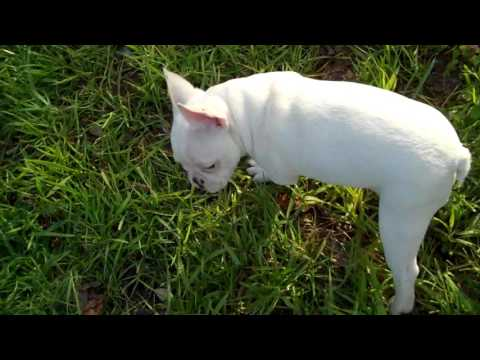 Lola is a cream frenchton with black pied markings