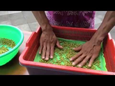 Download Video Membuat Tauge 3 Lapis Dan Tanpa Buntut (Part 1) Hari Ke 1 Dan 2