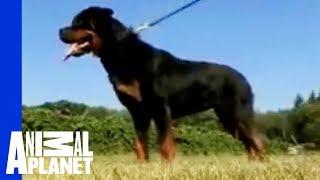 Dogs 101 - Rottweiler