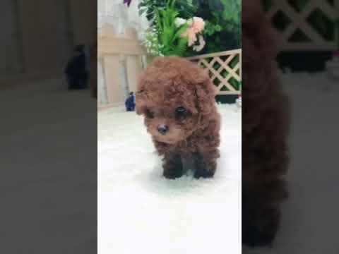 Rymonee Micro Red Poodle