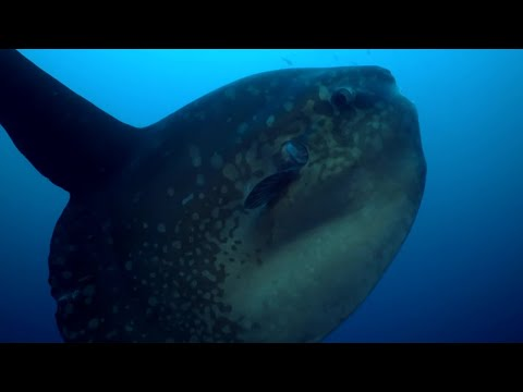 Enormous Ocean Sunfish Caught on Camera Cleaning
