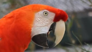 Scarlet Macaw Screaming FREE Sound Effects bird screaming special effects dinosaur monster roaring